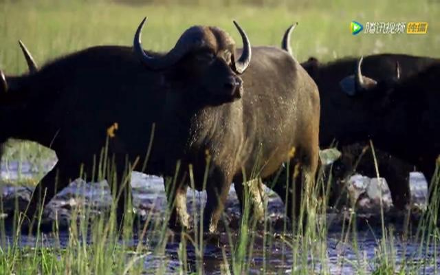 非洲水牛大战五头饥饿狮子