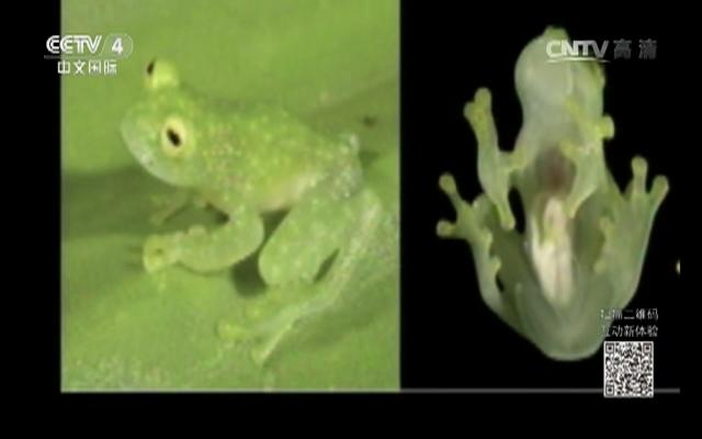 透明蛙现身