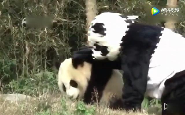 当大熊猫看见一只假熊猫